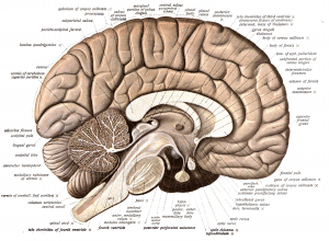 internal view of the brain